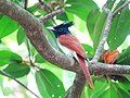 Terpsiphone paradisi. Indian paradise flycatcher 4.jpg