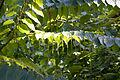 Tetracentron sinense - Feuilles et fleurs-3.jpg