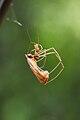 Tetragnathidae feeding on a winged reproductive termite.jpg