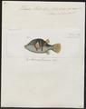 Tetrodon valentini - 1700-1880 - Print - Iconographia Zoologica - Special Collections University of Amsterdam - UBA01 IZ15500127.tif
