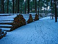 Texel - De Dennen - Heidvlakweg - View North along Trees Gathered From Forest-Thinning.jpg