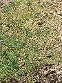 Thalictrum aquilegifolium1.jpg