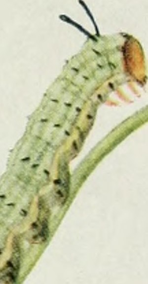 Dryocampa rubicunda - Greenstriped mapleworm