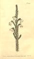 The Botanical Magazine, Plate 443 (Volume 13, 1799).png