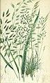 The British grasses and sedges (1858) (14783879093).jpg