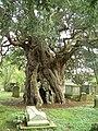 The Crowhurst Yew - geograph.org.uk - 691472.jpg