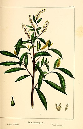 The North American sylva; or, A description of the forest trees of the United States, Canada and Nova Scotia. Considered particularly with respect to their use in the arts and their introduction into (14758736426).jpg