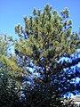 The big pine tree. July 2013. - Большая сосна. Июль 2013. - panoramio.jpg