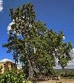 The big plane tree ( Platanus ).jpg