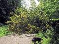 The blocked Ridgeway path, Moneybury Hill, Ashridge, from the north - geograph.org.uk - 1480179.jpg