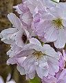 The inhabitant of the Japanese flowering Cherry (13699404903).jpg