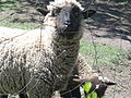 The sheep in Chile.JPG