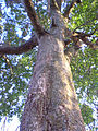 The tree see under to above a konia tree.jpg