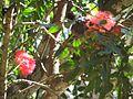 Thekkady, Red flower 02, Abrahams Spice Garden (2266712323).jpg