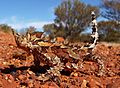 Thorny Devil - Christopher Watson.jpg
