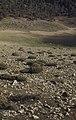 Thymelaea tartonraira (Daphne family). Dominant on stony mountains, sparse 12 inch bushes, Imouzzer (37497714890).jpg