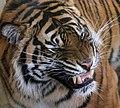 Tiger 2a (16528658050).jpg