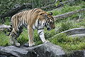 Tiger Bronx Zoo 2.JPG