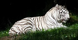 Tigre blanc beauval.jpg