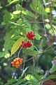 Tiliacora acuminata-Tapering-Leaf Tiliacora, Vallikanjiram, vallikannimaram. 2.jpg