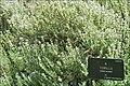 Tomillo Thym (Real Jardin Botanico, Madrid) (4657016559).jpg