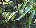 Toona sinensis in Dunedin Botanic Garden 02.jpg