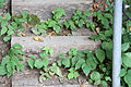 Toxicodendron radicans SCA-5332.jpg
