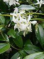 Trachelospermum jasminoides RHu 02.JPG