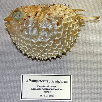 Tragulichthys jaculiferus - Image: Tragulichthys jaculiferus (Cuvier, 1818)