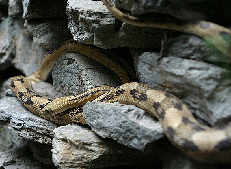 Trans Pecos Rat Snake