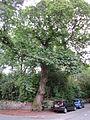 Tree at junction of Woodville Road and Bentinck Road, Altrincham.JPG