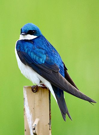 Tree swallow - At Stroud Preserve, near West Chester, Pennsylvania, US