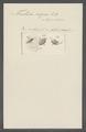 Trichoda nigra - - Print - Iconographia Zoologica - Special Collections University of Amsterdam - UBAINV0274 113 15 0030.tif