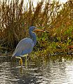 Tricolor Heron with Fish - Flickr - Andrea Westmoreland.jpg