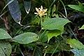 Tricyrtis latifolia 01.jpg