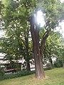 Trier Schnurbaum in der Ostallee.jpg