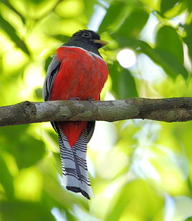 Trogon collaris - Collared Trogon.JPG