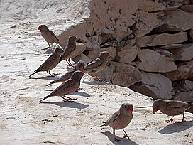 Trumpeter Finches.jpg