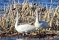 Trumpeter swan pair on Seedskadee National Wildlife Refuge (34886394651).jpg