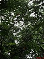 """Tucanos-toco ou tucanuçu (Ramphastos toco) livres na natureza vindo """"visitar"""" o amigo tucano, que está preso no Zoológico de Catanduva. Os tucanos são, junto com as araras e papagaios, um dos sím - panoramio.jpg"""