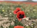 Tulip Fields in Armenia E6183 04.jpg