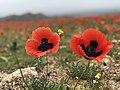 Tulip Fields in Armenia E6183 06.jpg