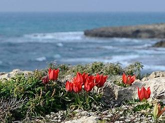 Tel Dor - Tulipa agenensis sharonensis, Dor-Habonim beach