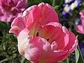 Tulipe (Tulipa) (02).jpg