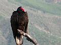 Turkey Vulture (3281883351).jpg