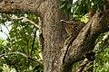 Uday Kiran Leopard BR Hills-8.jpg