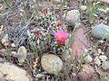 Uinta Basin Hookless Cactus (Sclerocatus wetlandicus) (16982605401).jpg