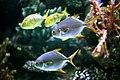 Unidentified fishes in the Antalya Aquarium 10.jpg