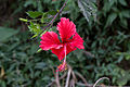 Unidentified flower, Bandungan, Semarang Regency, 2014-09-30 07.jpg