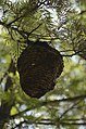 Unidentified paper wasp nest from Valparai Plateau JEG1718.JPG